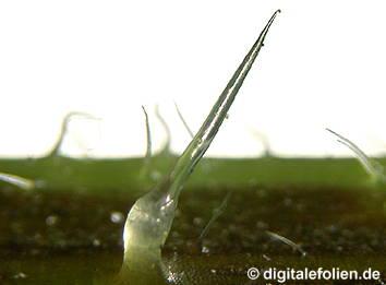 Mediendatenbank biologie mikroskopieren