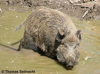 schädel und gebiss wildschwein