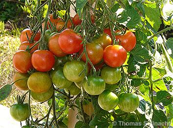 Mediendatenbank Biologie, Bau der Früchte