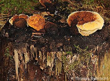 Pilz Als Holzzersetzer