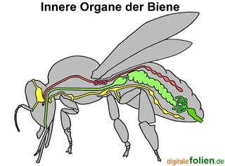 Innerer Bau eines Insekts