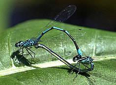 unvollkommene metamorphose bei insekten