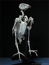 Das Skelett eines Vogels